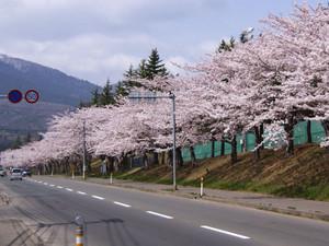 Sakura1404283